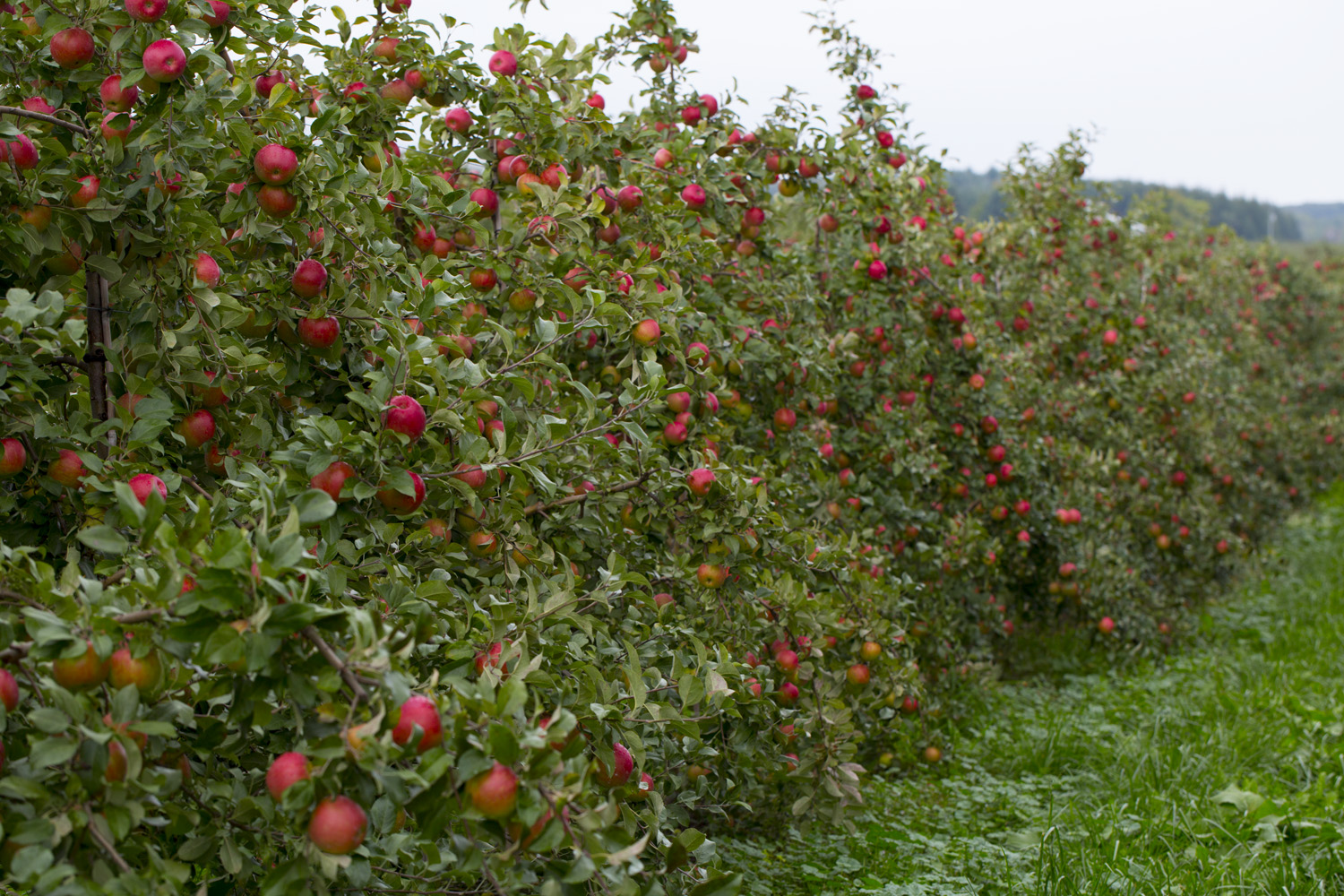 Honeycrisp apple trees on vertical axis with a heavy crop near    Zestar Apple Tree