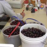 u-pick black sweet cherries being weighed in fruit stand in Northern Michigan near Traverse City