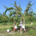 apricot u-pick for kids in northern Michigan near Traverse City