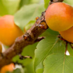 fresh apricots on the trees in Northern Michigan near Traverse City