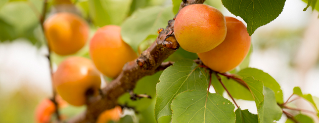 Tree ripened Michigan apricots from King Orchards