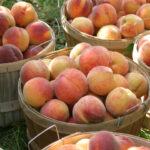 RedHaven peaches in half bushel basket