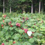 raspberries ready for u-pick in Kewadin Michigan near Torch Lake