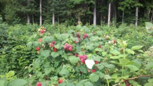 Raspberries ready for u-pick near Traverse City, Michigan