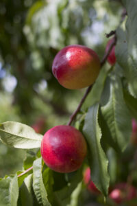 tree ripened nectarines in Northern Michigan near Traverse City