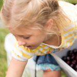 child picking black sweet cherries in northern Michigan near Traverse City
