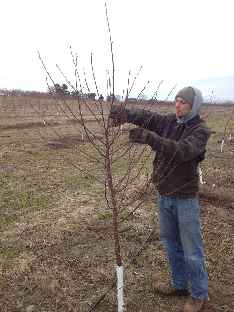 Spring has arrived king orchards - Spring trimming orchard trees healthy ...