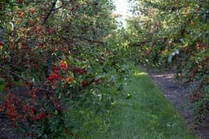 pick your own tart cherries