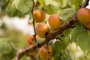 Apricots-King-Orchards