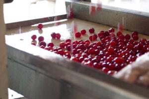 Montmorency-Tart-Cherries-P