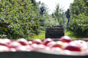 u-pick apples at King Orchards in Northern Michigan