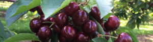 sweet cherry u-pick at King Orchards