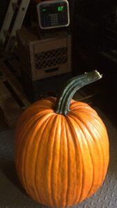 82 pound pumpkin harvest