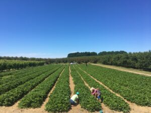 pick your own strawberries at King Orchards in northern michigan near charlevoix and traverse city